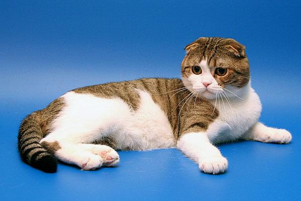 фото шотландских длинношерстных кошек